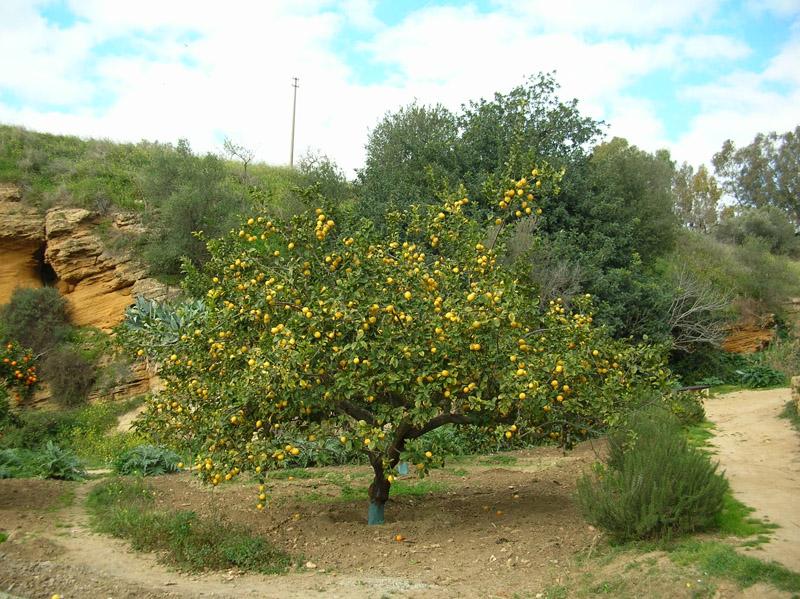 albero-di-limone.jpg