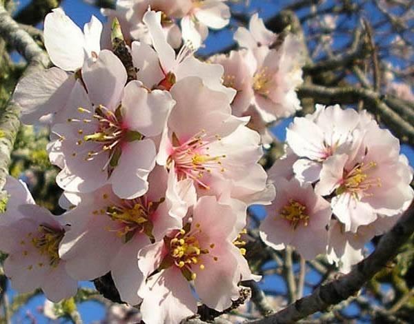 fiori-mandorlo_O4.jpg